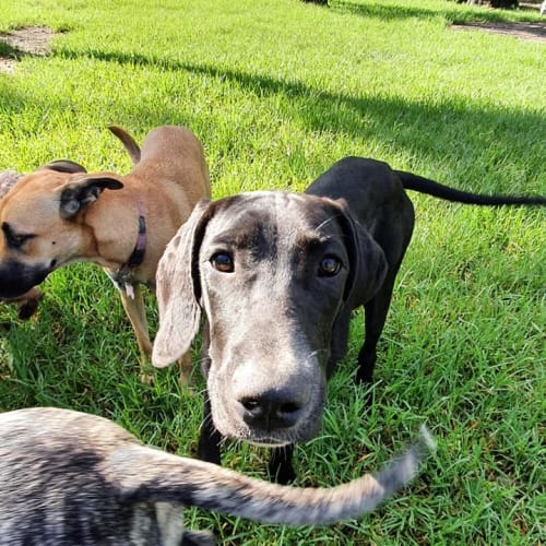 Scooby  - Great Dane Dog