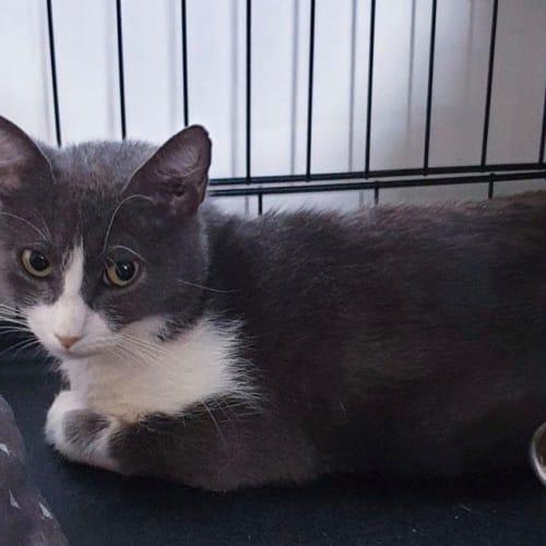 Darla - Domestic Short Hair Cat