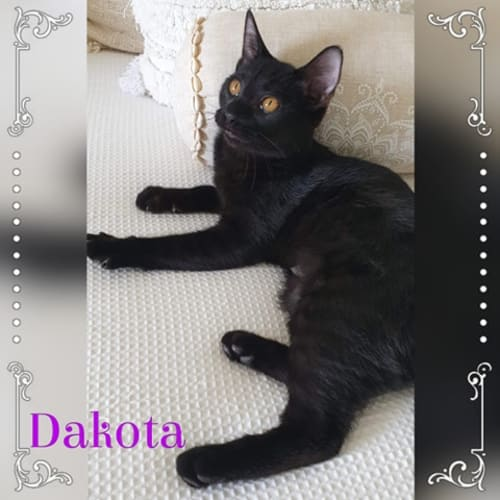 Dakota - Domestic Short Hair Cat