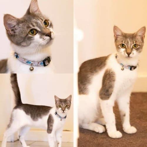 2307 - Venus - Domestic Short Hair Cat