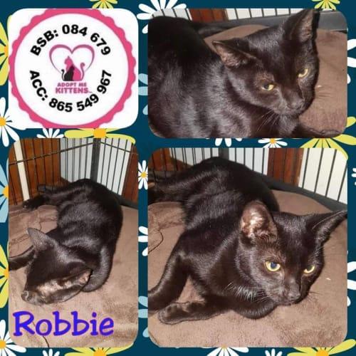 Robbie - Domestic Short Hair Cat