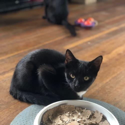 Merlot - Domestic Short Hair Cat