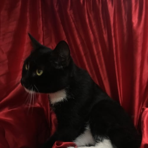 Didgit - Manx x Domestic Short Hair Cat