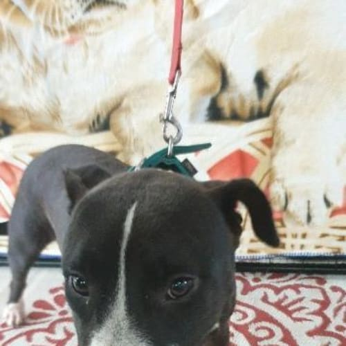 Hardy - Staffordshire Bull Terrier x Mixed Breed Dog
