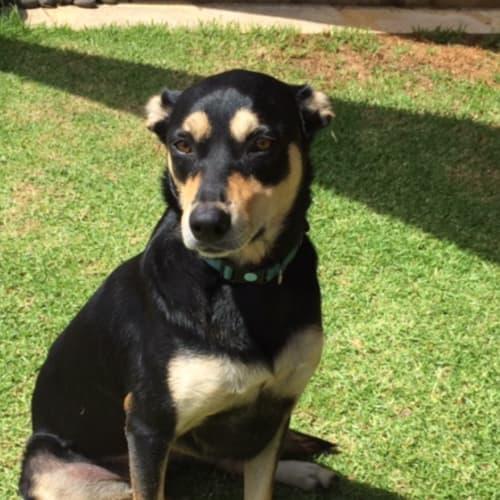 Layla - Kelpie x Cross breed Dog