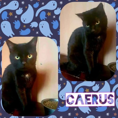 Caerus - Domestic Short Hair Cat