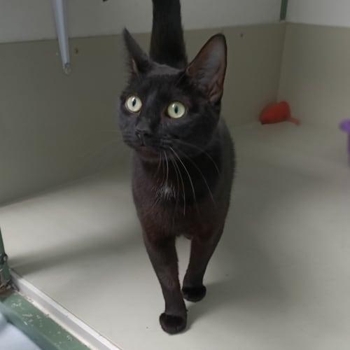 Tiff (97403) - Domestic Short Hair Cat