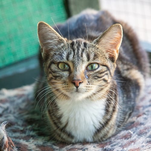 Tiggi - Domestic Short Hair Cat