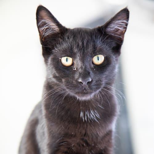 Torin - Oriental Cat