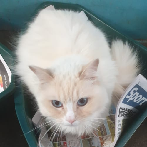 Snowy Ted - Ragdoll Cat