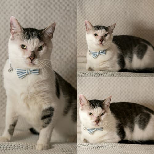 1480 - Scar - Domestic Short Hair Cat