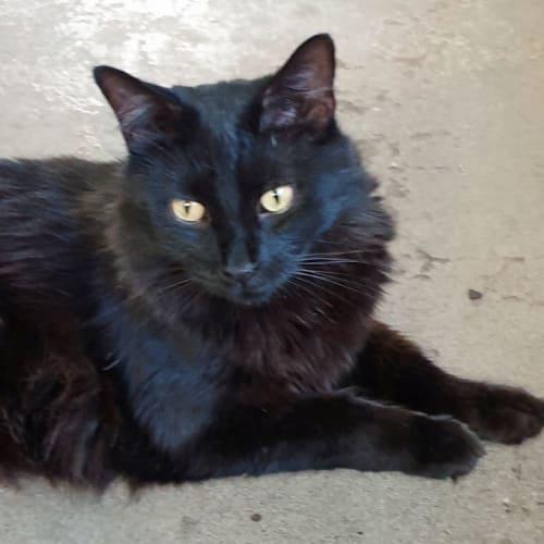 Gizmo - Himalayan Cat