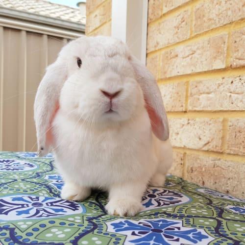 Toby - Dwarf lop Rabbit