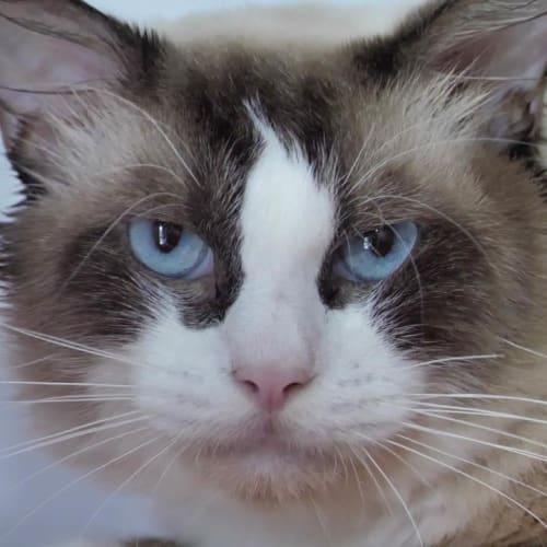 Feldspar - Ragdoll Cat