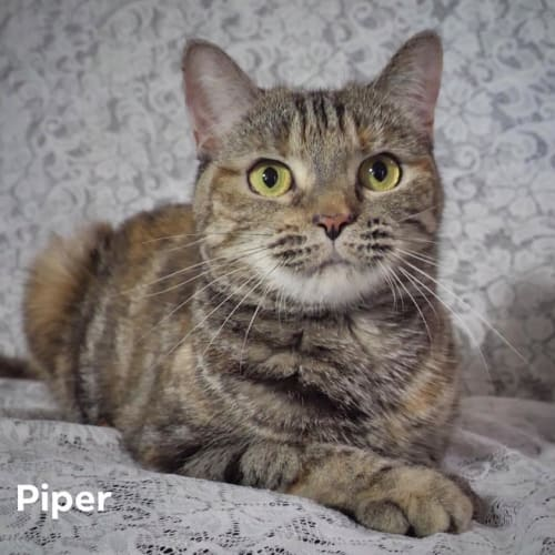 Piper - Domestic Short Hair Cat