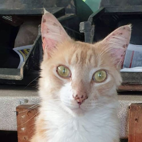 Yoga - Oriental Cat