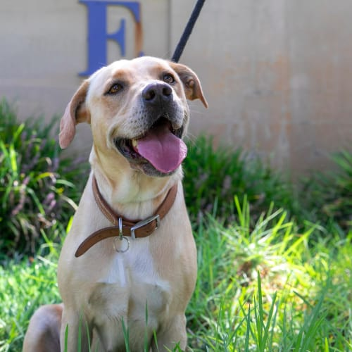 Skye DL2371 - Labrador Dog