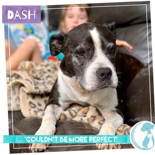 Dash - Staffordshire Bull Terrier Dog