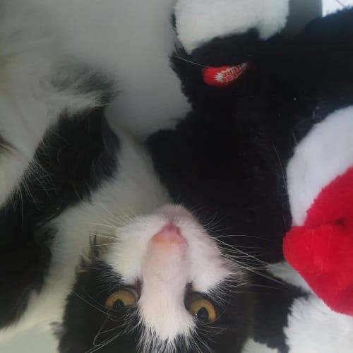 Tassi - Domestic Medium Hair Cat