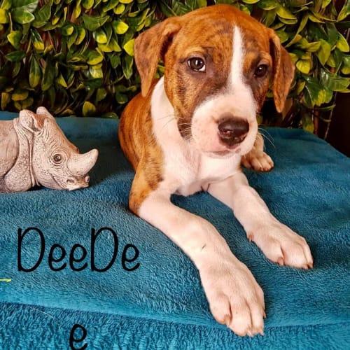 DeeDee - Bull Arab Dog