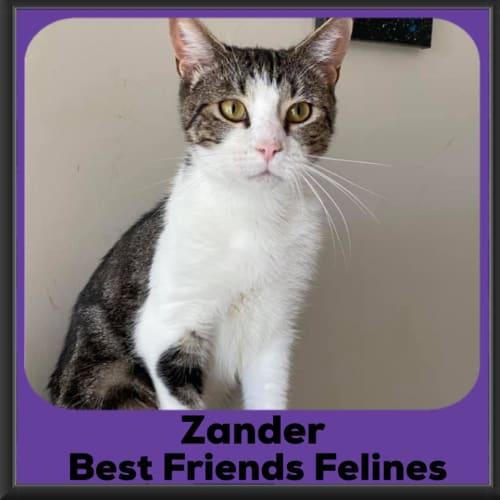 Zander - Domestic Short Hair Cat
