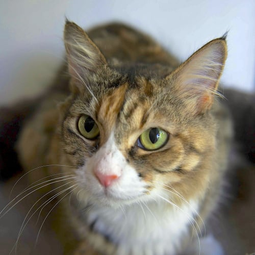 Adele - Domestic Medium Hair Cat