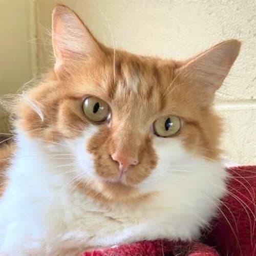 Lion  938179 - Domestic Medium Hair Cat