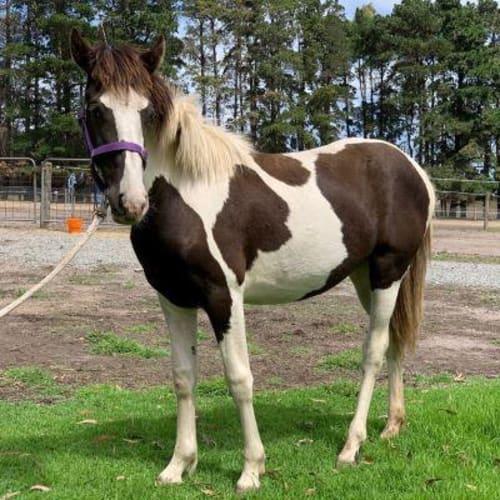 Raisin  919097 -  Horse