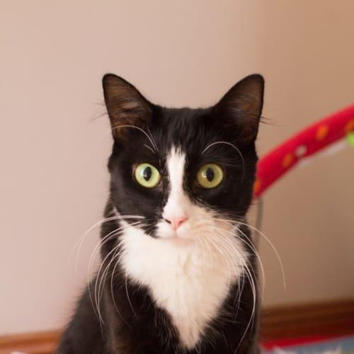 Perdita - Domestic Short Hair Cat