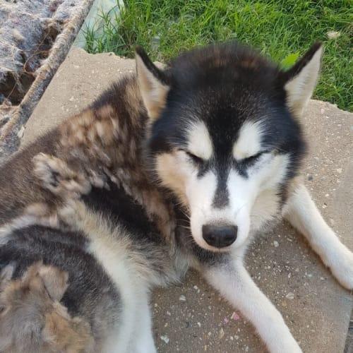 Zorro and Shiyah  - Siberian Husky Dog