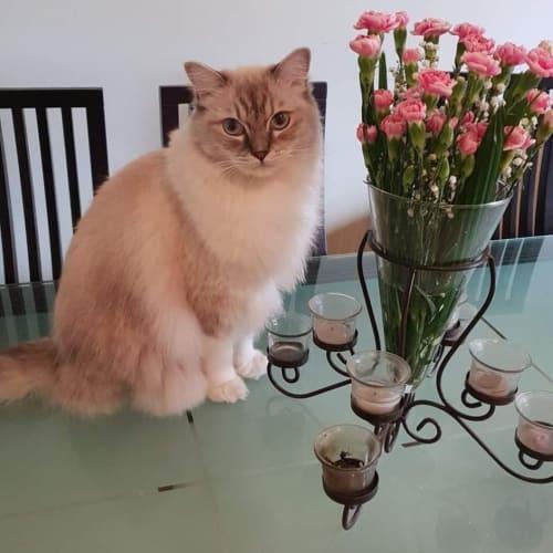 Coco **Stunning Boy** - Ragdoll Cat
