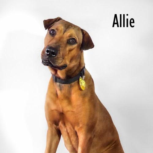 Allie - Shar-Pei x Rottweiler Dog