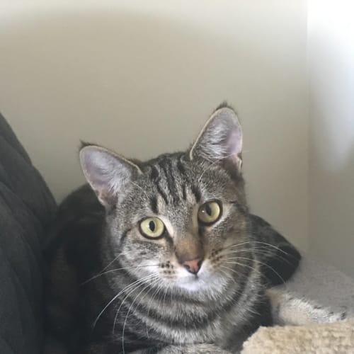 Cuddles  - Domestic Short Hair Cat