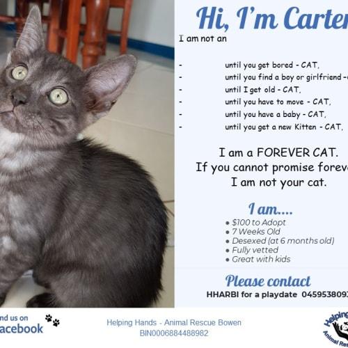 Carter - Domestic Short Hair Cat