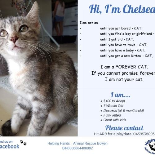 Chelsea  - Domestic Medium Hair Cat