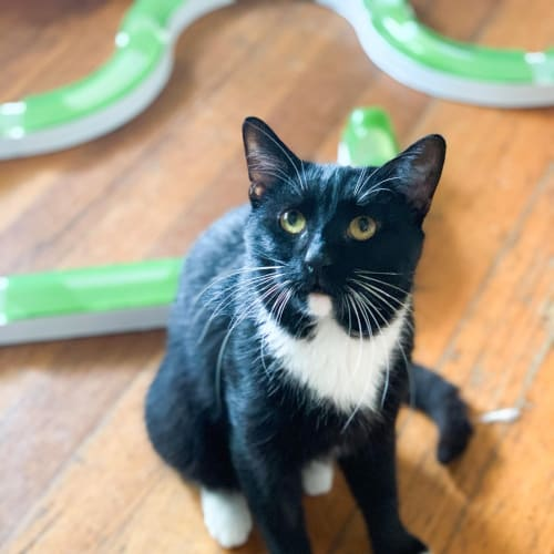 Whistler (Located in Rowville) - Domestic Short Hair Cat