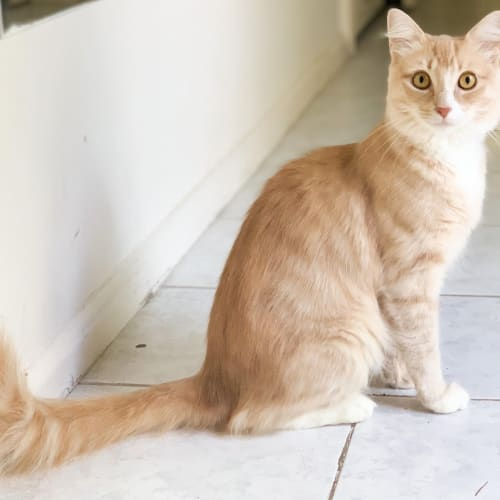 Apri (Located in Rowville) - Domestic Medium Hair Cat