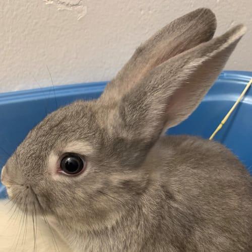 Rhythm  - Dwarf Rabbit