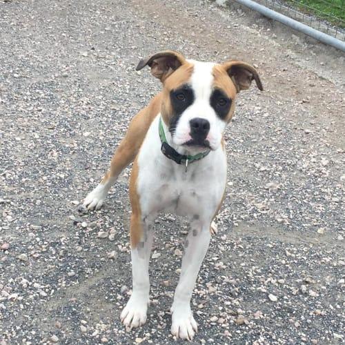 Diamond - Johnson Bulldog x Staffordshire Bull Terrier Dog