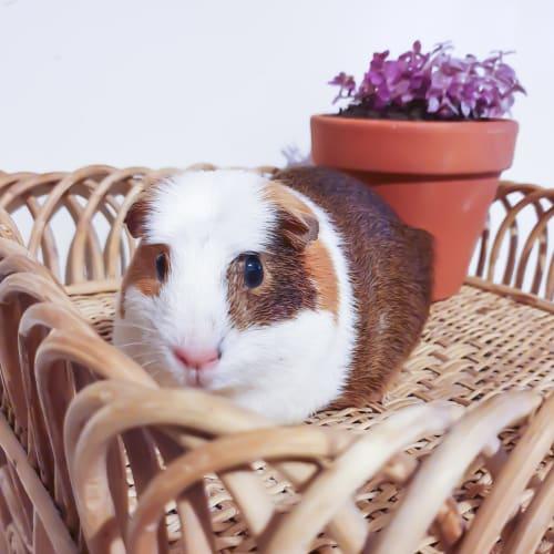 Ventura - Guinea Pig