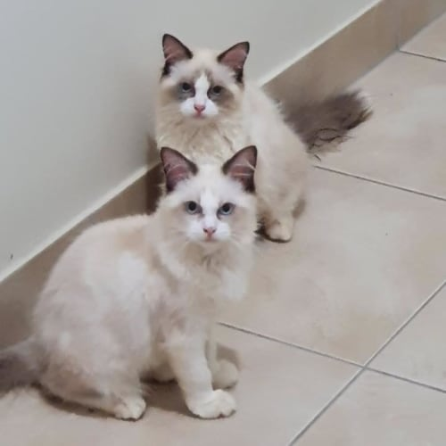 Teddy & Bear - Ragdoll Cat