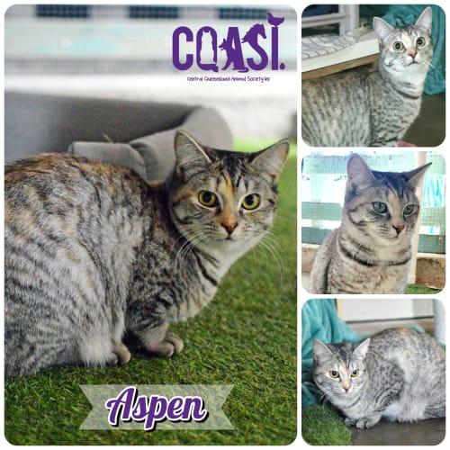 Aspen - Domestic Short Hair Cat
