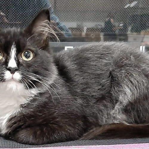 Cookie - Domestic Medium Hair Cat