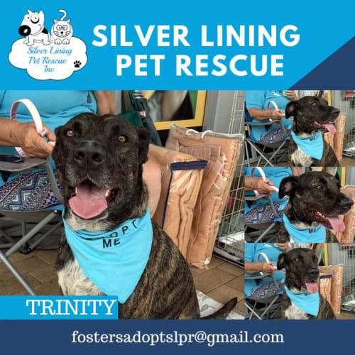 Trinity - Kelpie Dog