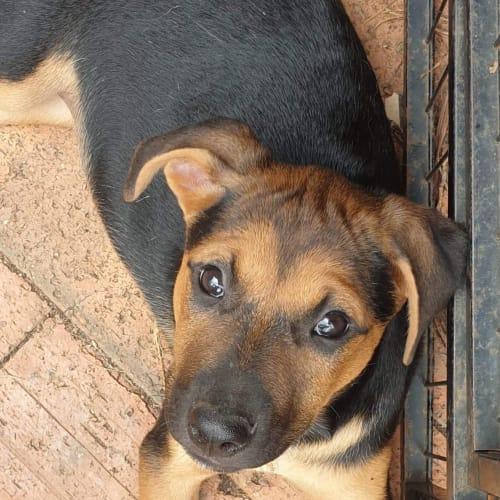 Mary Lou - Kelpie Dog