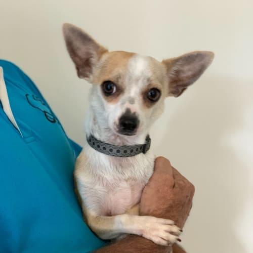 Bobbi - Chihuahua Dog