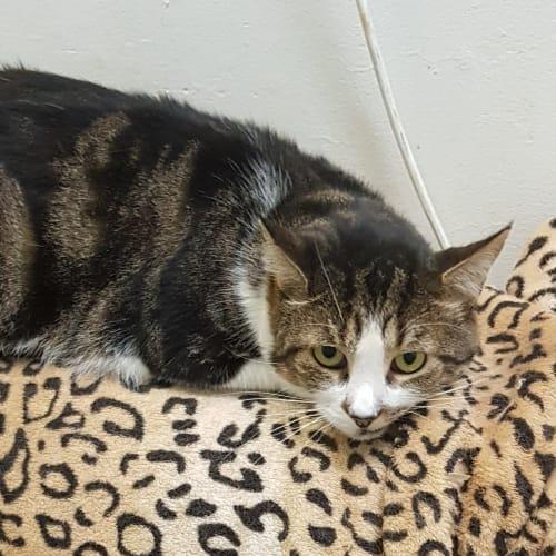 Blinky Tom  - Domestic Short Hair Cat