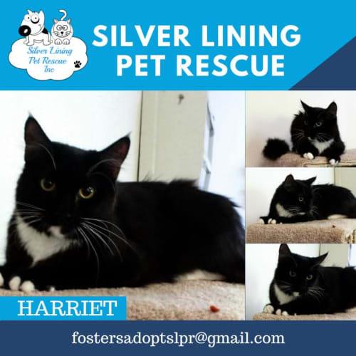 Harriet - Domestic Medium Hair Cat