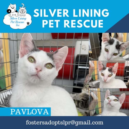 Pavlova - Domestic Short Hair Cat