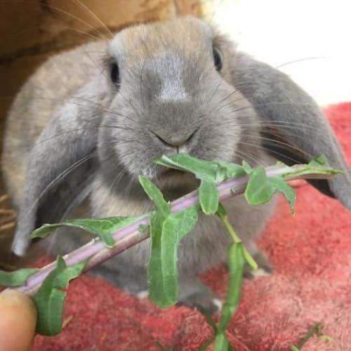 Belladonna - Lop Eared Rabbit